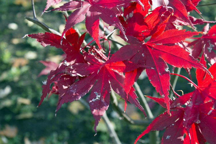 Plant Part Leaf Red Beauty In Nature Plant Autumn Close-up Maple Leaf Nature Focus On Foreground Maple Tree Day No People Outdoors Natural Condition Fall Leaves Red Park Wood Contrast Branch
