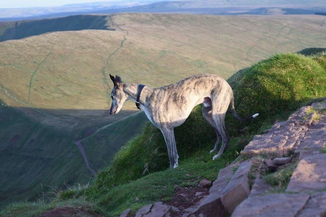 Finding New Frontiers my rescue whippet looking to see how far down it is Pen Y Fan Mountain South Wales Whippet Go Higher