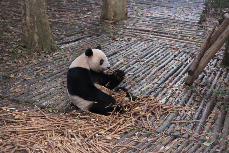 Animal Themes Animals In The Wild Bamboo Day Giant Panda Mammal Nature No People One Animal Outdoors Panda Panda Bamboo Panda Bear Panda Chengdu Panda China Wood - Material