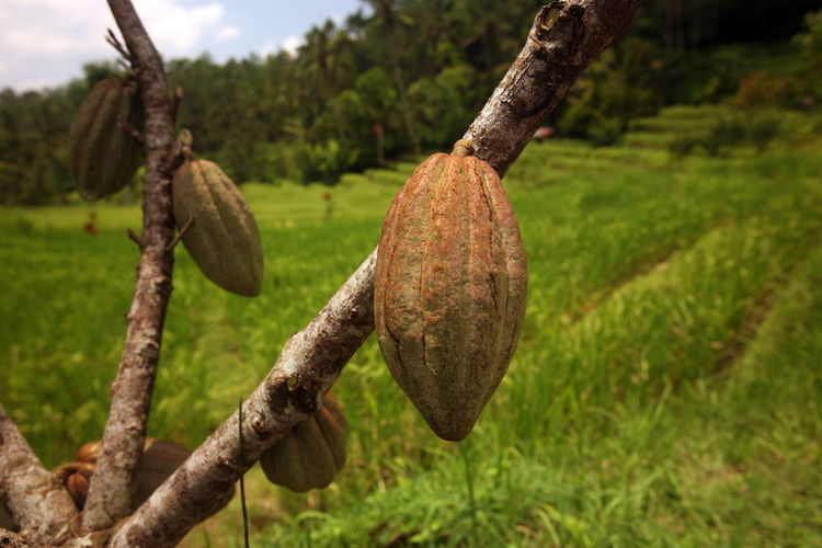 Cocoa beans growing in farm
