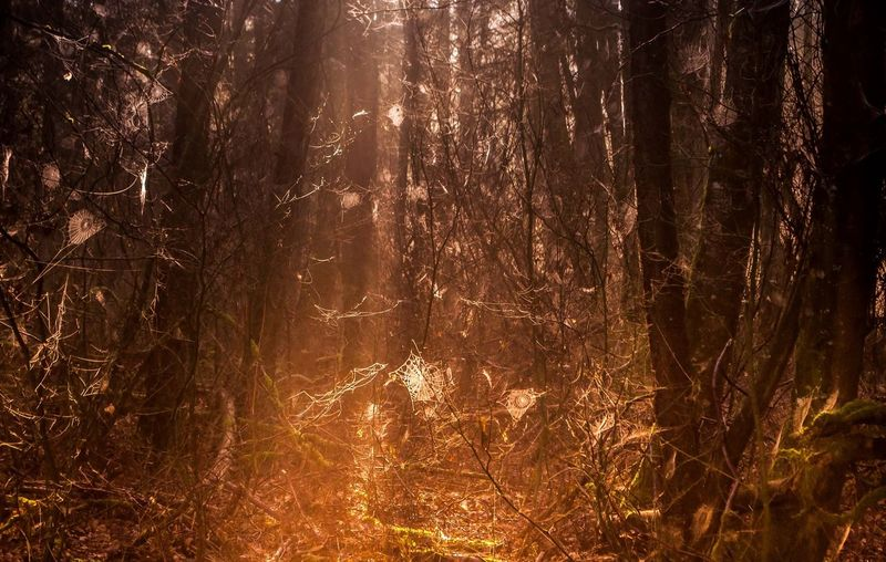 And in that deep gold there were spiders everywhere. Outdoors Birch Bay Washington State Forest #woods Spiderweb Spider Web Spider Webs Golden Hour Golden Woods Sunlight Sunrays Through The Branches Sunrays Dusty Fog_collection Fog In The Trees