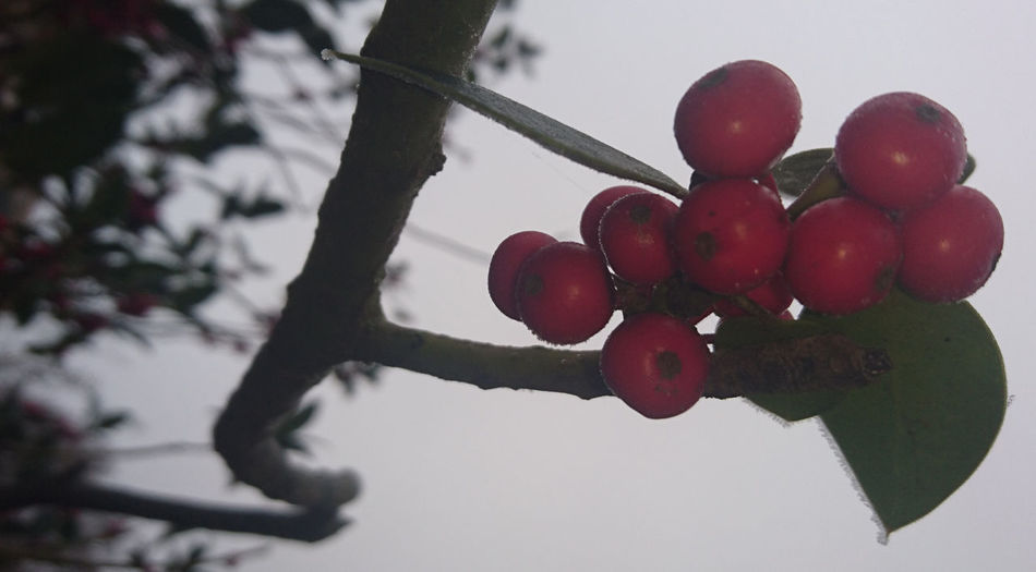 Close-up of cherries on tree