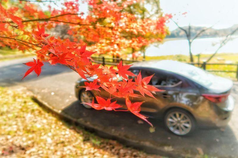Autumn Change Leaf Maple Leaf Day Car Nature Maple Tree Beauty In Nature Transportation 秋 紅葉 もみじ 木 森林 Tree 落葉 枯れ葉 道路マツダ アクセラ Tree Mazda 3 Axela Mazda