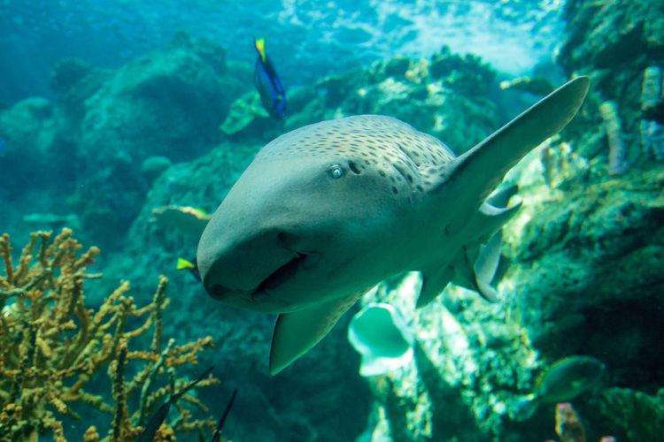 Close-Up Of Zebra Shark Swimming