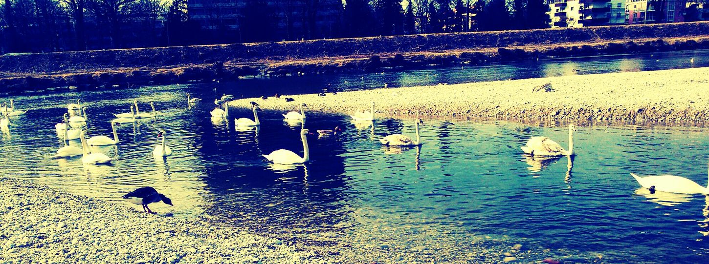River Swan SwanQueen Grace Majestic Beautiful Romantic