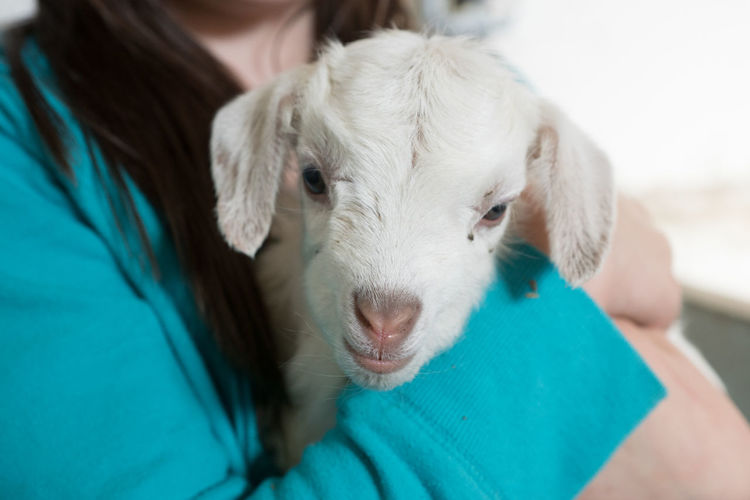 Animal Themes Baby Goat Close-up Holding On Looking At Camera One Animal One Person Vet