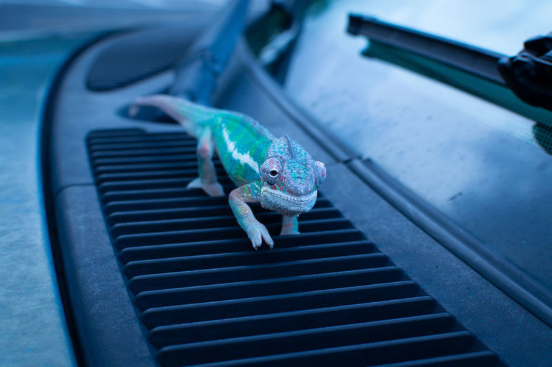 Close-up of chameleon on car