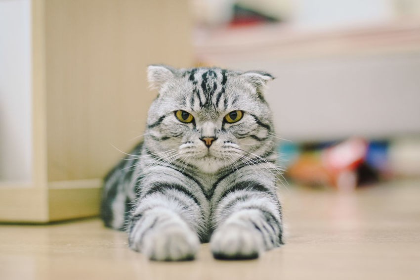 Angry Cat Angrycat Animal Themes Cat Cat Eyes Cat Lover Cat Lovers Cat Photography Cat Portrait Cat Watching Day Domestic Animals Domestic Cat Indoors  Looking At Camera No People One Animal Pets Portrait Scottishfold