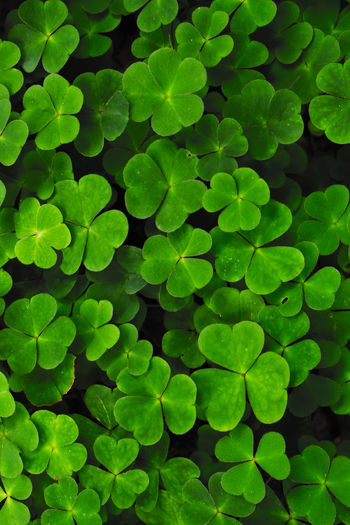 Clover EyeEmNewHere Lucky Backgrounds Beauty In Nature Close-up Clover Field Clover Leafs Plant Day Defocused Fragility Freshness Full Frame Green Color Growth Leaf Nature No People Outdoors Plant ¨luck