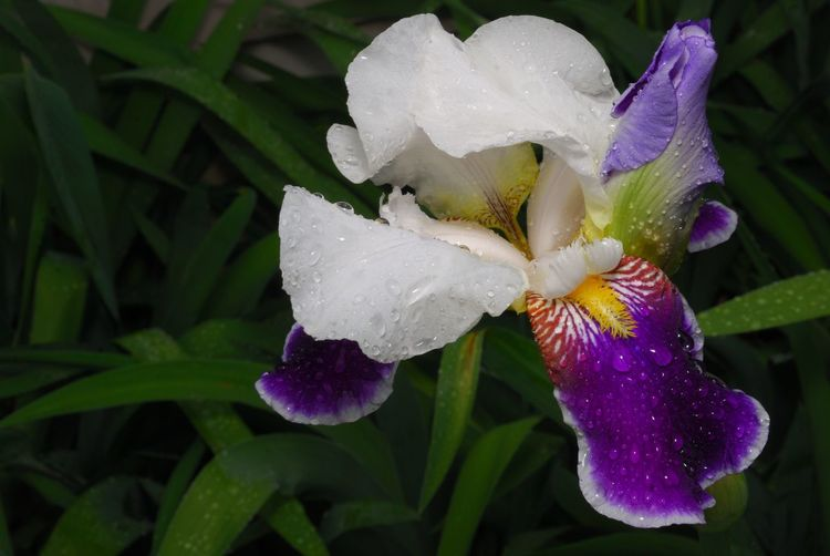 Flower Fragility Beauty In Nature Freshness Nature Petal Growth Flower Head Plant Close-up Blooming Leaf Outdoors No People Day Water Iris - Plant Iris Flower New Jersey New Jersey Photography Nature Beauty In Nature Plant