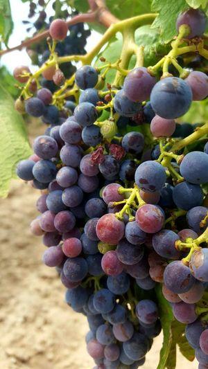 Fruit Vine -