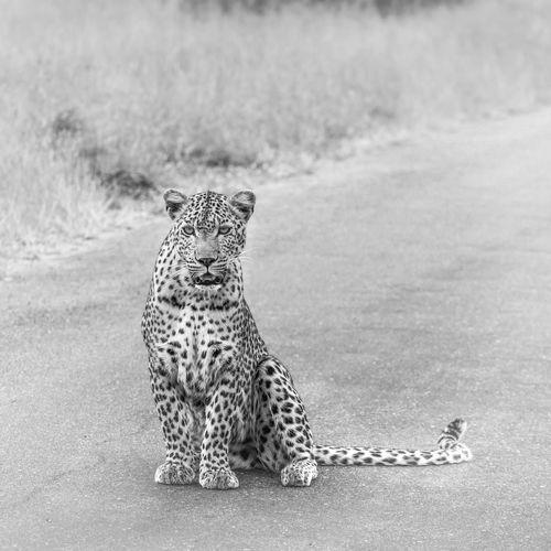 Leopard sitting on road