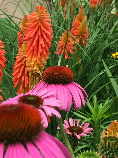 Camroos Yard Flowers,Plants & Garden Echinacea and Poker Plants