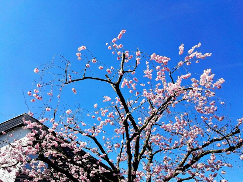 Cherry blossoms Sky Low Angle View Nature Outdoors No People Clear Sky Beauty In Nature Silhouette Close-up Tree Fragility Growth Day Cherry Blossoms Cherry Tree Pink Cherry Blossoms Pink Cherry Tree On Blue Sky