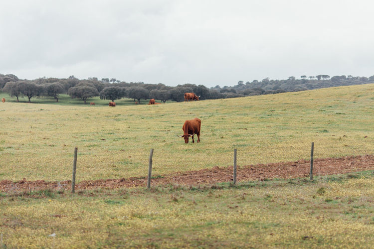 Agriculture Farm Farm Life Agricultural Land Agriculture Photography Alentejo Animal Themes Beauty In Nature Cows Cows In A Field Day Domestic Animals Fence Field Grass Grazing Landscape Limousine Mammal Nature No People Outdoors Rural Scene Tree
