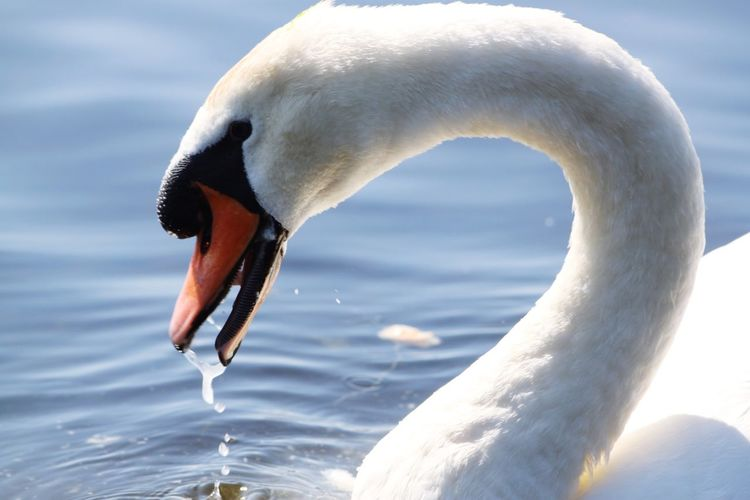 One Animal Animal Body Part Bird Animal Animals In The Wild Animal Head  Close-up Water Animal Wildlife No People Nature Animal Themes Portrait Swan Outdoors Swans ❤ Swans On The Lake Swan In A Lake Swan Close Up The Week On EyeEm