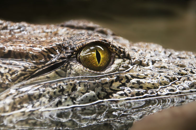 Close-up of crocodile in lake