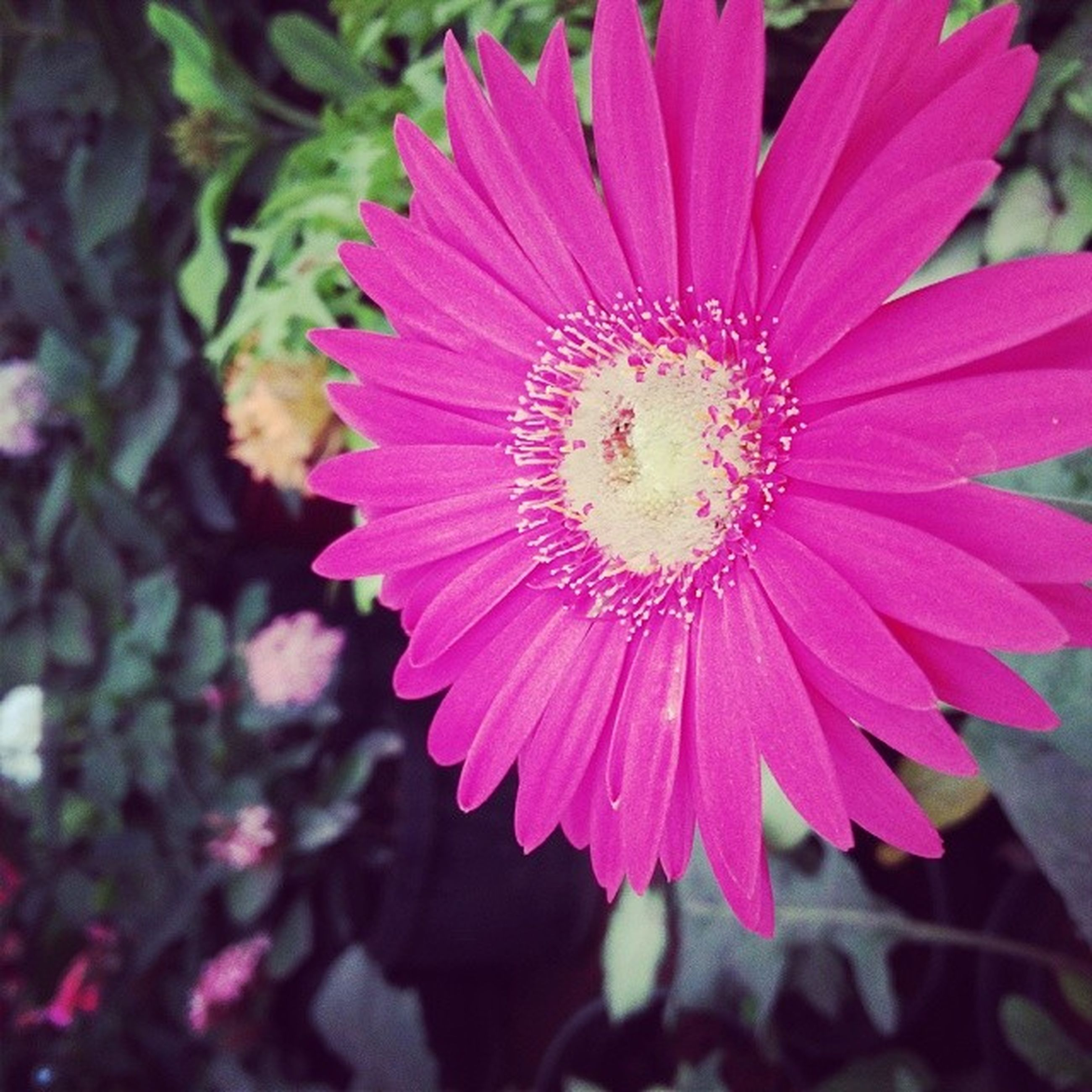 flower, petal, flower head, freshness, fragility, pollen, beauty in nature, close-up, growth, single flower, blooming, focus on foreground, nature, plant, in bloom, pink color, red, stamen, outdoors, day