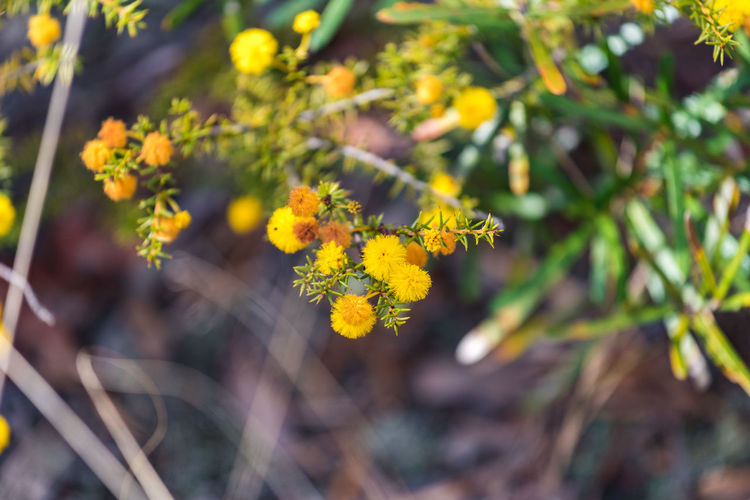 Acacia Terminalis Bright Exotic Green Plant Sunshine Wattle Blooming Blossom Blossoming  Bud Bush Close-up Eudicots Evergreen Flower Focus On Foreground Fragility Freshness Linden Mimosa Plant Plantae Shrub Spring Yellow