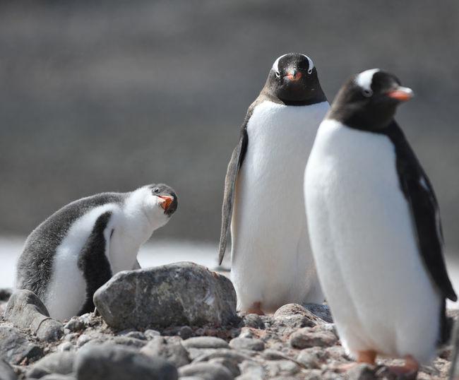 Penguins at falkland islands