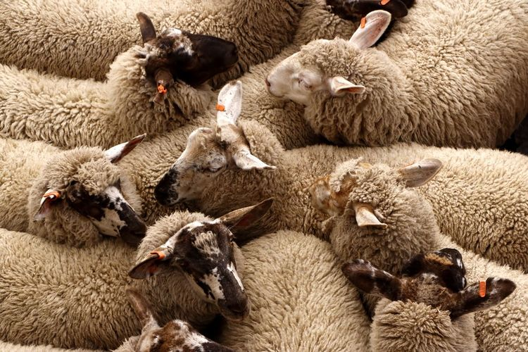 Sheep herded together for transportation Animal Themes Group Of Animals Animal Mammal Livestock Domestic Animals Domestic Large Group Of Animals Vertebrate Sheep Agriculture Togetherness Animal Wildlife Animal Family Herbivorous Herd Transported Confined  Crowded Flock Of Sheep Rural Scene