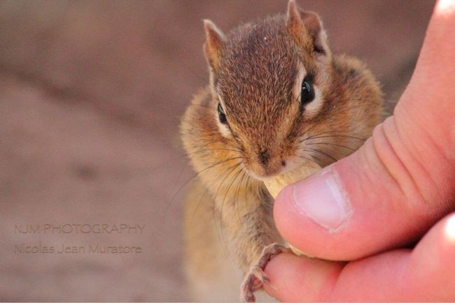 Chipmunk Hand Feed Urban Nature Wildlife my favorite little guy!