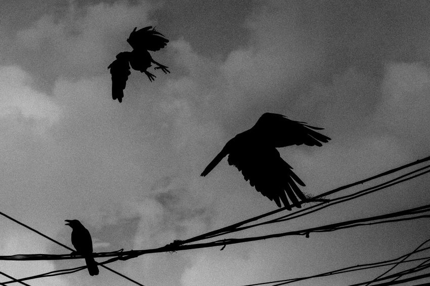 Escape from Life Animal Themes Animal Wildlife Animals In The Wild Bird Day Flying Mid-air Motion Nature No People Outdoors Raven - Bird Silhouette Sky Spread Wings