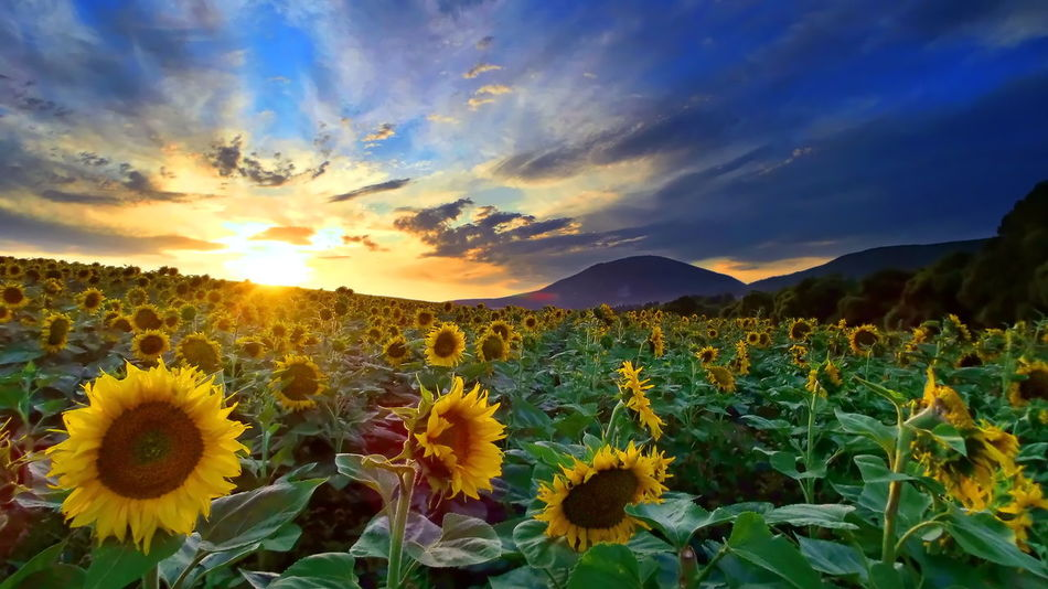 Sunflowers in the sunset Sunflower Beauty In Nature Blooming Colorful Day Field Flower Flower Head Freshness Growth Landscape Mountain Nature No People Outdoors Pilis Pilisszántó Plant Scenics Sky Sun Sunset Tranquility Yellow