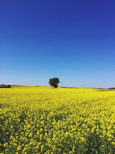 Flower Field Agriculture Yellow Beauty In Nature Crop  Oilseed Rape Nature Tranquil Scene Clear Sky Growth Rural Scene Tranquility Scenics Copy Space Landscape Blue Mustard Plant Day No People Himmel Sommer Rapsfeld Baum Gelb The Great Outdoors - 2017 EyeEm Awards Live For The Story The Great Outdoors - 2017 EyeEm Awards Sommergefühle Investing In Quality Of Life