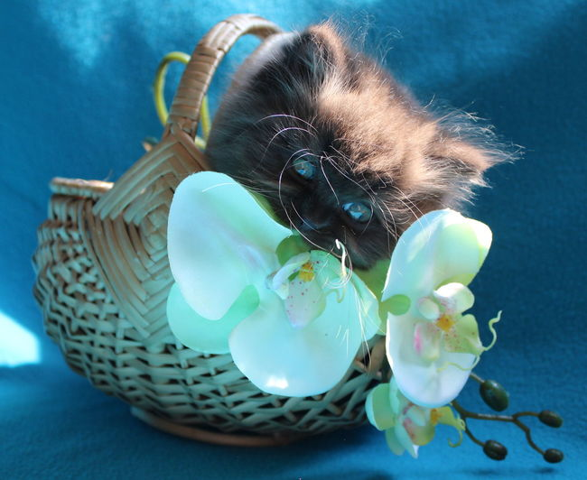 Portrait of british longhair kitten in basket with orchids
