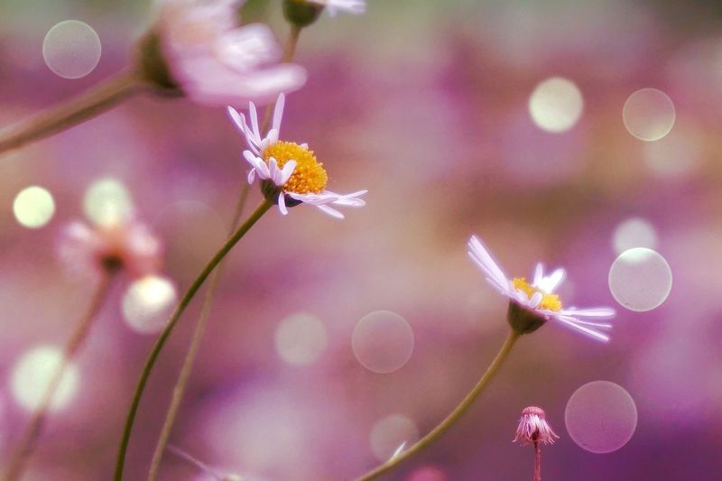 Flower Nature Fragility Beauty In Nature Growth Insect Freshness Plant Pink Bokeh Macro Close Up Light Daisy Beauty In Nature Petal Close-up No People Animal Themes Animals In The Wild Outdoors Pollination Day Flower Head Buzzing