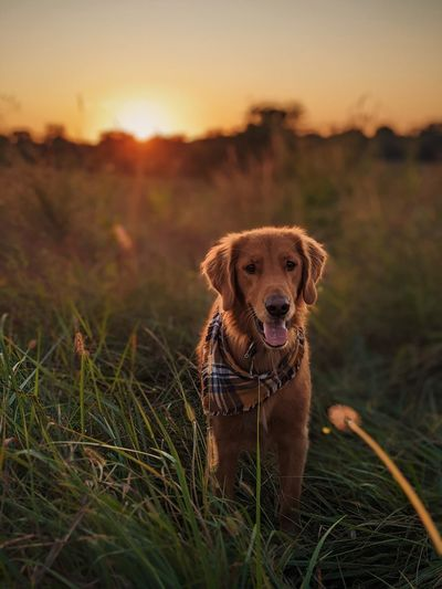 Portrait of dog on field during sunset