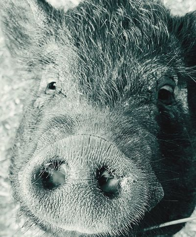 Pig on the farm Pig In Mud Animal Themes Mammal Close-up Animal Head  No People Animals In The Wild Portrait Domestic Animals Nature Outdoors Livestock Boar Head Pig Head Pig In Natural Environment Mud Wild Boar Pig Boar Farm Animals Animal Wildlife