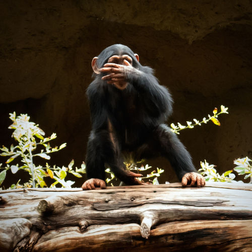 Earth day Endangered Species Telling Stories Differently Showing Imperfection Gorilla Baby Animal Photography No People