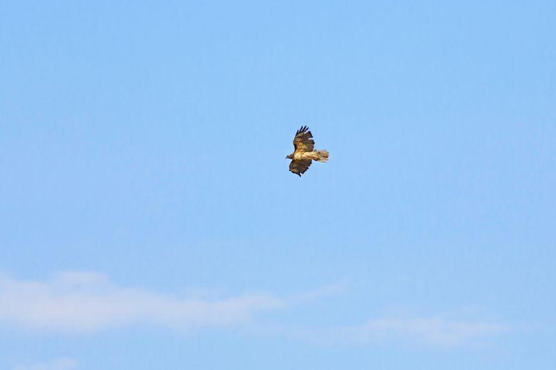 Hawk in flight Red-tailed Hawk Raptor Animal Wildlife Utah Bird Photography Bird In Flight Bird Of Prey Bird Flying Spread Wings Blue Mid-air Sky Animal Themes Hawk - Bird Fly Animal Wing Flapping