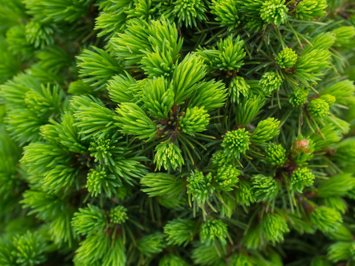 Green Color Plant Growth Close-up No People Day Nature Full Frame Beauty In Nature Pine Tree Backgrounds Tree Focus On Foreground Outdoors Coniferous Tree Branch High Angle View Plant Part Needle - Plant Part Leaf