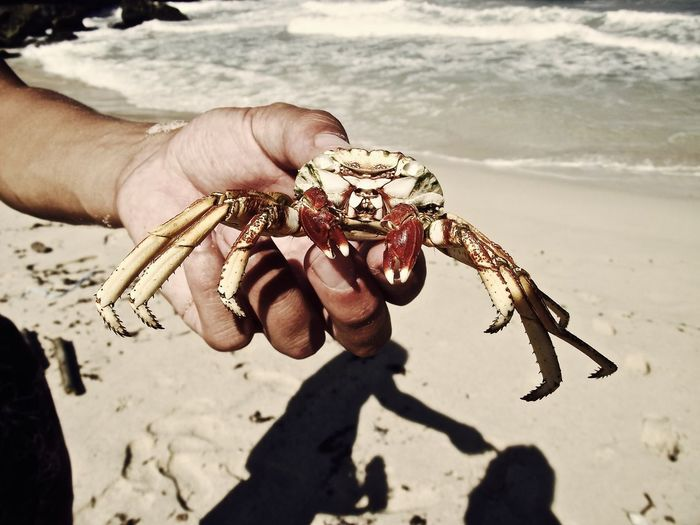 Close-up of cropped hand holding crab at beach during sunny day
