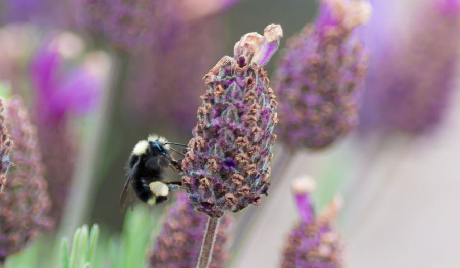 Close-Up Of Bumblebee On Lavender
