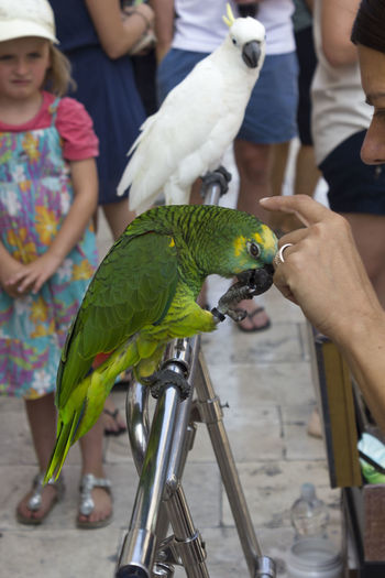 Domestic parrot in Dubrovnik Parrot Bird Vertebrate Animal Wildlife Focus On Foreground Animals In The Wild Real People Perching Animal Animal Themes Dubrovnik Croatia Dubrovnik, Croatia Incidental People Men One Animal Feeding  Hand Human Hand People Lifestyles Women Leisure Activity