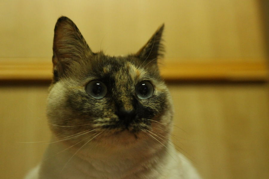 Beauty Cat Clea Face Close-up Hokkaido Hybrid Japan Monbetu-shi Pets Play Siamese Cat Sleeping