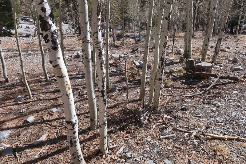 Stand of small white birch tree trunks in the forest Stand Of Trees White Tree Trunks Tree Trunks Trees And Nature No People Outdoors Nature Day