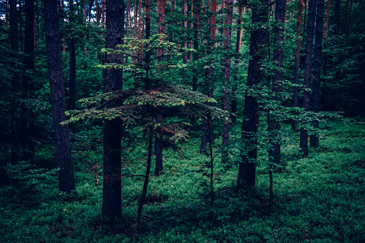 Las Polska Exceptional Photographs Silhouette EyeEm Nature Lover Poland Forestwalk Tree Trunk Forest Photography Growing Greenery Woods Flora Blossoming  Creeper