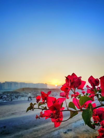 Flower Sunset Red Beauty In Nature Sky Nature Scenics Pink Color Leaf Fragility Landscape Blue Outdoors No People Plant Flower Head Sunlight Multi Colored Tranquility Sun City Egypt S8Photography Egyptphotography