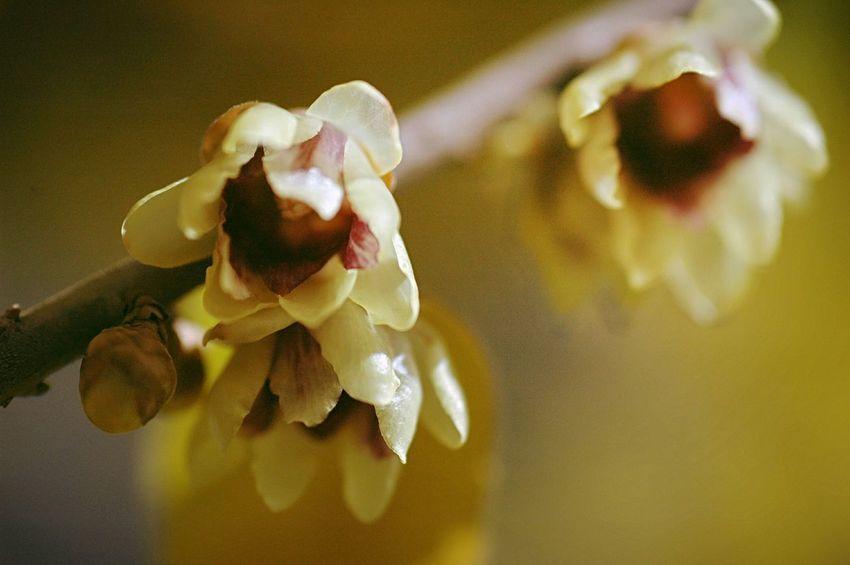 早咲きの蝋梅 Fleshyplants EyeEm Flower Flowers EyeEm Nature Lover Winter Flowerporn Flower Collection Bokeh Bokeheffect Wintertime Colors Yellow Blossom