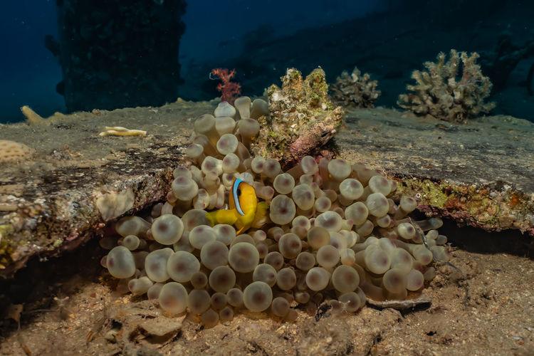 Clownfish in
