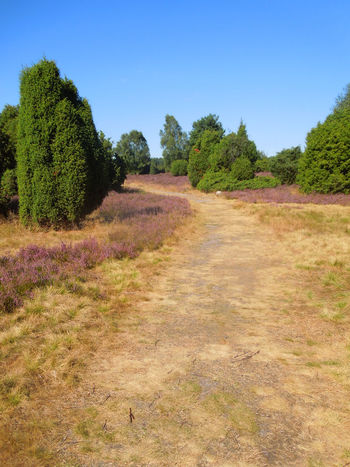 Blooming Heather Heidelandschaft Lüneburger Heide Path Tranquility Blooming Clear Sky Field Grass Growth Heather Heatherland Landscape Moorland Nature No People Pathway Pink Color Plant Purple Scenics Sky The Way Forward Tranquility Tree