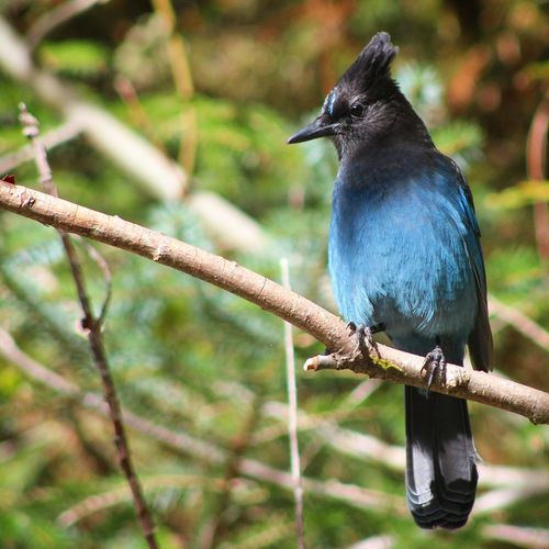 Stellers Jay Bird Perching Tree Branch Close-up Feather