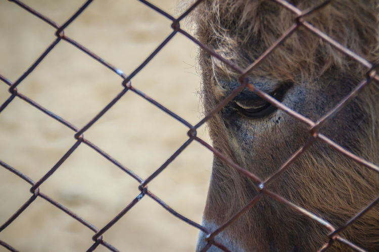 Close-up of monkey on chainlink fence at zoo