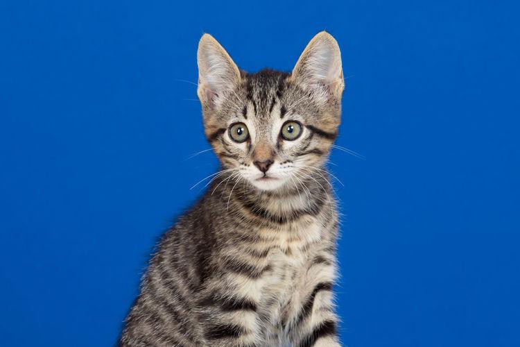 Portrait of cat against blue background