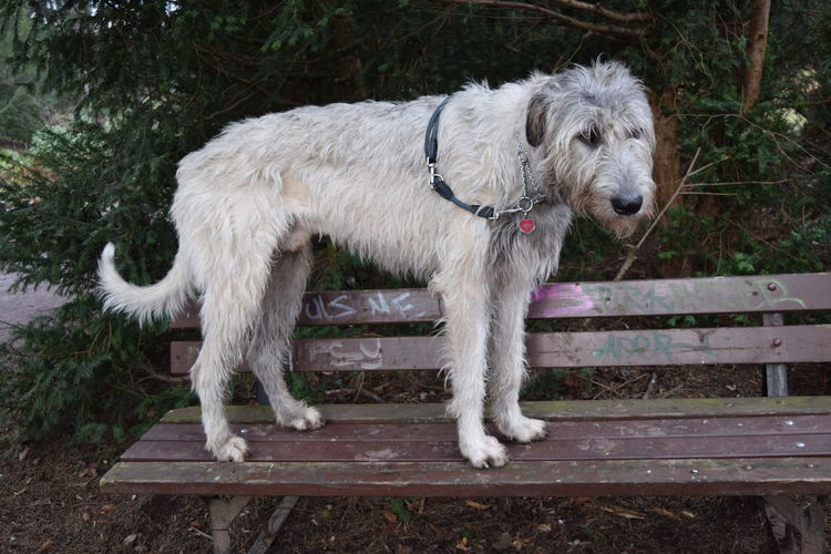 Benches_Of_The_World_Unite Pets Animal Themes Dog Domestic Animals Outdoors Showcase February 2017 Winter 2017 February 2017 Dogs Of Winter Dogwalk Dog Of The Day Dogs Of EyeEm Dogslife Irish Wolfhound Looking At Camera Portrait Cearnaigh Petscorner